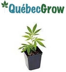 medical Marijuana Laval